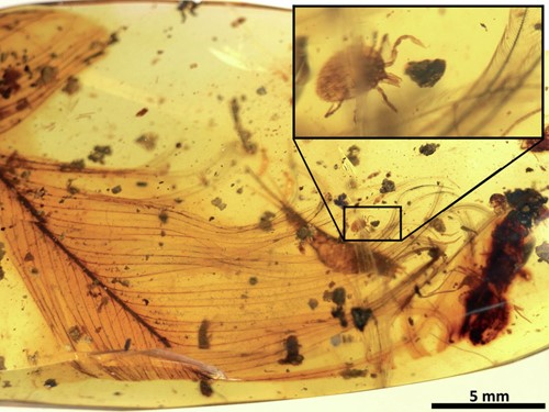 Teaching Amber reveals blood-sucking tick on dinosaur feather