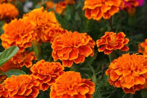 Teaching Marigolds
