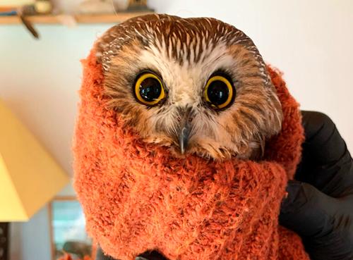 Teaching Tiny owl rescued from New York Rockefeller Center Christmas tree