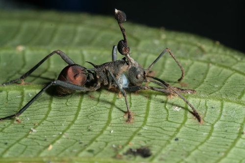 Absurd Creature of the Week: The Zombie Ant and the fungus that controls its mind