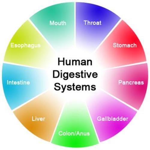 Teaching Digestive system organs
