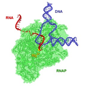 Teaching Messenger RNA (mRNA)