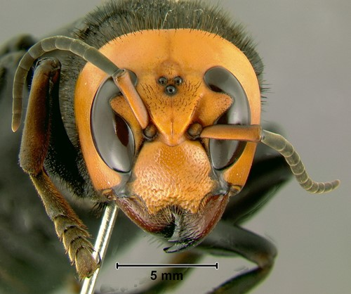 "Teaching What are giant hornets and are they really ""murderous""? 7 questions answered"