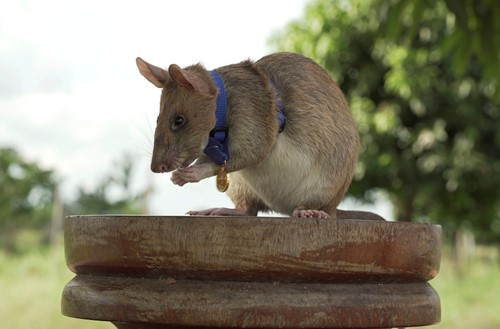 Teaching Giant rat wins animal hero award for sniffing out land mines