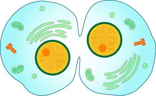 Investigation: Cell Division