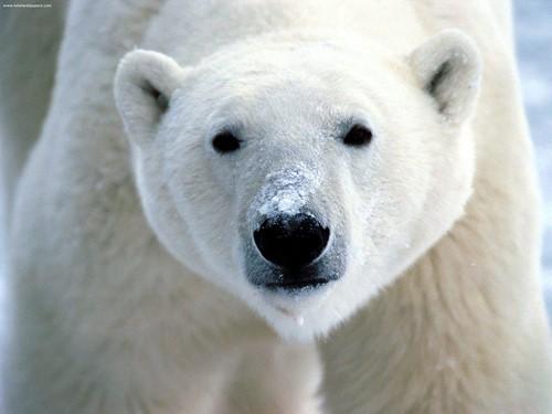 Teaching The King of the Polar Bears