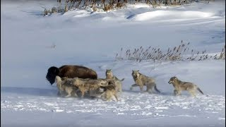 Teaching Pack of wolves hunt a bison [video]