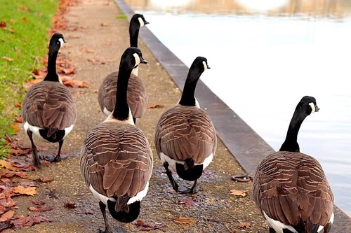 Teaching We are the Geese