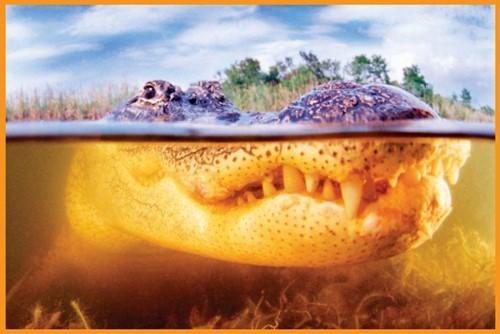 Teaching The alligator's super sense