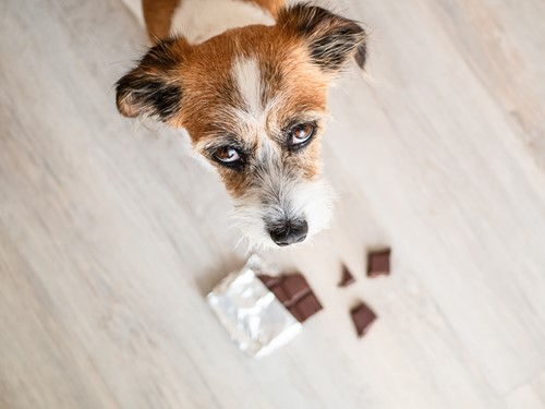 Teaching Why Can't Dogs Eat Chocolate?