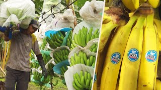 Teaching How do bananas grow and end up in the store? [video]