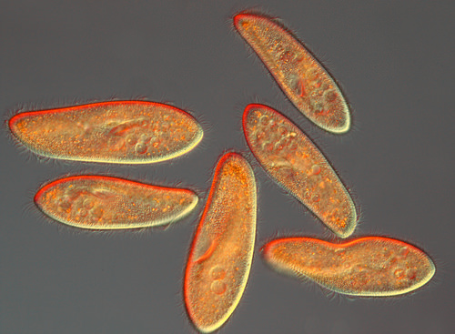 Teaching Evolution of eukaryotes to multicellular life