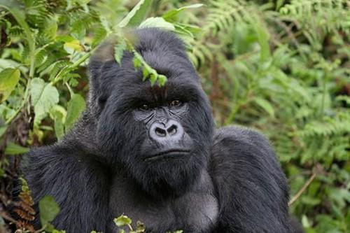 "Teaching 11-Year-Old ""Hero"" Speaks Up for Endangered Gorillas"
