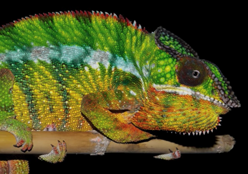 How do chameleons change color? [video]