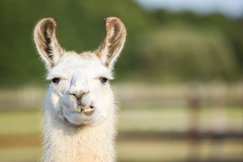 Teaching Llamas Are Having a Moment, But They've Been Icons in South America for a Long Time