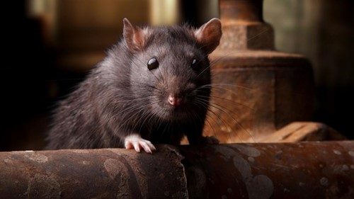 Teaching When it comes to the Black Death, the rats may have been framed