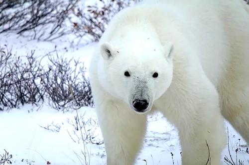Teaching Polar Bear
