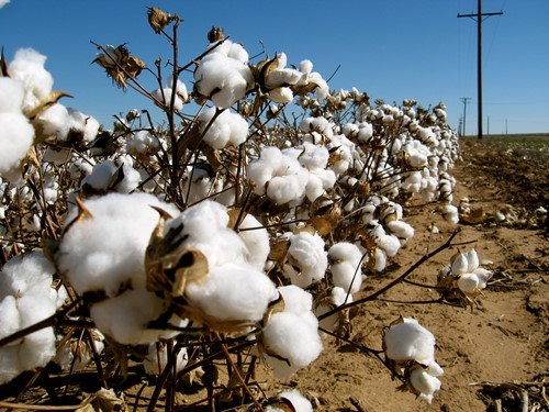 Teaching King Cotton