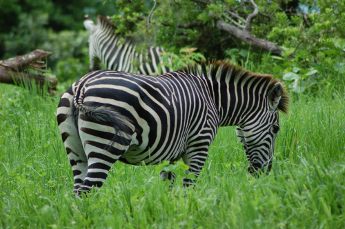 Teaching Zebra's stripes are a no fly zone for flies